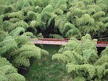 220px-Guadua_forest_en_Parque_del_Cafe[1].jpg